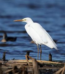 Intermediate Egret (cosmos38 - the real one) Tags: egret intermediateegret ardeaintermedia westernaustralia australia northlake birds