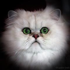 Meraviglia - Wonder (Eugenio GV Costa) Tags: approvato gatto cat gatti cats animal animali domestici