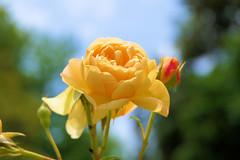 P1010475 (alainazer) Tags: marseille provence france fiori fleurs flowers rose