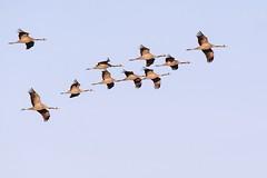 Grues cendrées (Marc ALMECIJA) Tags: outdoor outside oiseau oiseaux nature natur wildlife panasonic g9 100400 camargue grues grue grus grullas