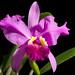 [Venezuela] Cattleya lueddemanniana 'OK-2' Rchb.f., Xenia Orchid. 1: 29 (1854)