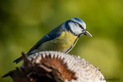 Mésange Bleue (jean-louis21) Tags: oiseaux mésange bleue tournesol bec cyanistes caeruleus