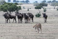 Kisaru looking for lunch (Tris Enticknap) Tags: africa cheetah kenya maranorthconservancy masaimara acinonyxjubatus