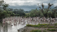 flamingos ... (miriam ulivi - OFF/ON) Tags: miriamulivi nikond7200 france camargue fenicotteri flamingos nature flamantsroses alberi trees cielo sky nuvole clouds vegetazione vegetation