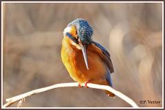 Martin-Pêcheur 200104-10-P (paul.vetter) Tags: nature faune oiseau vogel bird martinpêcheur alcedoatthis commonkingfisher martínpescadorcomún guardarios eisvogel alcédinidé