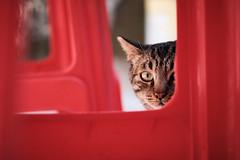 What are you looking at... (Wilson Au   一期一会) Tags: hongkong tunglungchau cat eye fujifilm xt3 fujinon xf35mmf14r red color