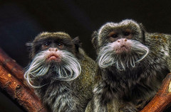 nice guys (try...error) Tags: wien vienne vienna zoo austria affe ape portrait panasonic leica 100400 olympus omd em5 tierpark tiergarten nature monkey