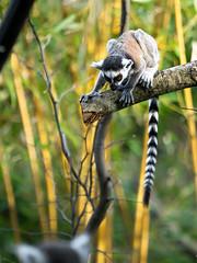 lémuriens (françoispeyne) Tags: beauval enfrance animaux