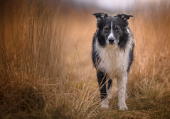 Assessing the Situation (JJFET) Tags: border collie dog sheepdog herding
