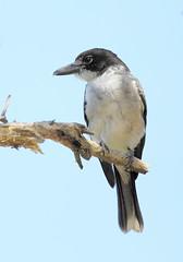 Young Grey Butcherbird (cosmos38 - the real one) Tags: birds butcherbird grey cracticustorquatus westernaustralia australia northlake