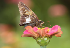 Skipper (*Millie*) Tags: skipper insect zinnia flower plant pink brown spots summer nature outdoors canoneosrebelt6i ef100mmf28lmacroisusm milliecruz everythingnature