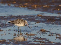 Bar tailed Godwit (stephen.reynolds) Tags: wader water bird rspb titchwell marsh beach winter bar tailed godwit