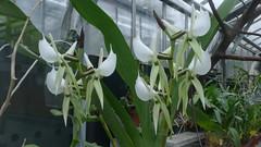 Le Jardin des plantes - 05-01-2020 - Orchidées (jeanlouisallix) Tags: rouen seine maritime haute normandie france fleurs flowers orchidées nature serres jardin garden parc park