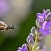 Wildbiene bee 190618 848.jpg