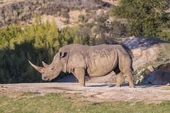 Chubby Unicorn (shottwokill) Tags: rhinoceros chubbyunicorn sandiegosafaripark sandiego zooanimals nature wildanimal zoolife nikon d5 200500 nikkor