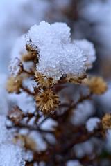 Aster in Snow (pstenzel71) Tags: blumen jahreszeiten natur pflanzen winter aster darktable snow bokeh schnee flower sel90m28g ilce7rm3