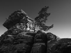 """Tabel-Mountain """"Gohrisch"""" #1 (Thunderbird61) Tags: tablemountain gohrisch sächsischeschweiz sachsen germany saxony saxonswitzerland pine kiefer solitaire sw bw nb zw na mono monochrome schwarzweis blackwhite zwartwit noirblanc nigeralbus nigeretalbus neroyblanco mountain nature pentaxart pentax pentax645z mediumformat landscape landgebied paysage arbres"""