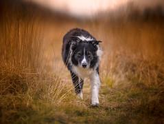 A Sense of Purpose (JJFET) Tags: border collie dog sheepdog herding