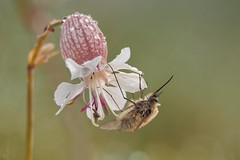 bee fly 0230 (alfred.reinartz) Tags: bee fly insekt insect wollschweber