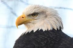 American sea eagle - Pairi Daiza (Mandenno photography) Tags: animal animals american sea seaeagle eagle bird birds birdofprey ngc nature natgeo natgeographic discovery bbcearth bbc pairi daiza pairidaiza belgie belgium