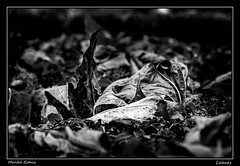 Leaves (Montse Estaca) Tags: francia france hendaya hojas leaves foglie bn bw bianco blanco black negro nero white fuji fujixt1 fotografíaurbana paisajeurbano urbanlandscape urbanphotography