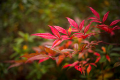 Winter Red (moaan) Tags: ono hyogo japan reaf leavess alive still winter january grow growing red focusonforeground selectivefocus bokeh bokehphotography dof canoneos5dsr ef50mmf14usm 50mm f14 utata 2020
