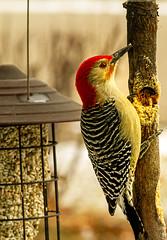 Things are looking up - Red-bellied Woodpecker (114berg) Tags: 05jan20 redbellied woodpecker bark butter feeder geneseo illinois
