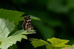 D71_4061-AY 2019 (Yannick Adonel) Tags: nature nikon nord nan3200 naturel nikkor nikonpassion insectes insecte papillon papillons petitesbêtes merville macro macrophoto micro macroinsectes micronikkor macrophotographie yannickadonel yannick