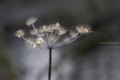 Little Stars and Golden Threads (jillyspoon) Tags: dof depthoffield nature umbellifer weed plant winter foliage grey skies bokeh sony sonya7iii sonyalpha sony85mm 85mmprime neutral