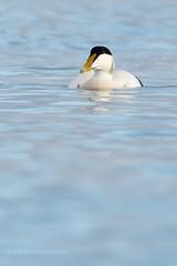 Common Eider (Drake) (ABPhotosUK) Tags: bird swansducksandgeese eider looe shorebirds eos7dmarkii ef500mmf4is