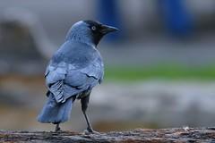 jackdaw 757 (alfred.reinartz) Tags: bird vogel singvogel jackdaw dohle
