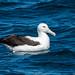 Northern Royal Albatross - New Zealand