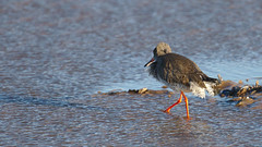Bad hair day! (stephen.reynolds) Tags: wader bird rspb titchwell marsh beach winter redshank red legs blown feathers bad hair day
