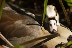Egyptian Goose Nesting (vguzman1120) Tags: goose goosenesting birds bird