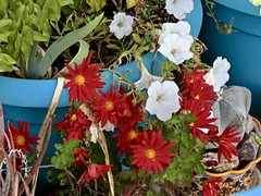 White Petunias and Orange Mums In A Blue Flowerpot (Chic Bee) Tags: canonpowershotsx70hs