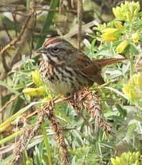 Song Sparrow at the Arboretum (Ruby 2417) Tags: sparrow bird wildlife nature davis arboretum flower december garden