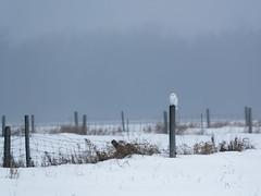 _857543 (mikerofoto) Tags: birdsofprey owl snowyowl whiteowl wildlife wildlifephotography wildlifelovers wildlifeplanet