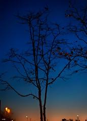 Anochece en la ciudad (candi...) Tags: anochecer horaazul árbol ramas silueta sonya77ii ciudad