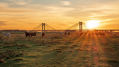 Sunset cows (Erik_Graumans) Tags: echteld bridge amazing abendstimmung landscape landschap nature beautiful beauty betuwe brug colorful clouds colors scenery licht lucht luchten dutch dusk evening fuji gelderland gorgeous glowing green golden gras grass holland photo light vibes kleuren sky wolken lovely netherlands nederland nl new outside orange zon zonsondergang sonne sonnenuntergang sunlight sunset sun spectacular xt20 zonsonderdang