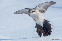 Where da voles at? (Earl Reinink) Tags: bird predator shrike northernshrike winter snow earlreinink