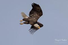 January 4, 2020 - Bald eagle takes a dive. (Tony's Takes)