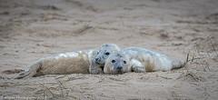 Snuggle (Mister-Tee) Tags: winterton wintertononsea norfolk seal greyseal juvenilegreyseal marine sea coast nikon nikond750 newborn