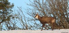 Chamois (fr) - Rupicabra rupicabra (Linnaeus, 1758) - Gämse (de) - Chamois (en) (patrick68110) Tags: chamois chèvre capriné mammifère herbivore