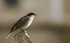 House Sparrow. (Chris Kilpatrick) Tags: chris canon canon7dmk2 sigma150mm600mm sigma outdoor wildlife nature bird animal douglas isleofman housesparrow passerdomesticus springwatch