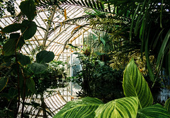 Greenhouse (StrangeCharmDesign) Tags: greenhouse garden nature plants ferns tropical leaves leaf glass botanicalgarden botanical conservatory conservatoryofflowers sanfrancisco sf california elephantear