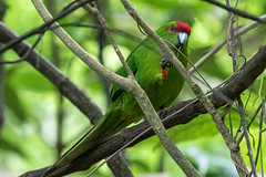 Red-crowned Kākāriki (gecko47) Tags: animal bird parakeet kākāriki redcrownedkākāriki zealandiasanctuary wellington aotearoa newzealand