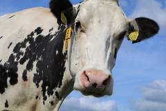 Delta Boldi Lavino (excellentzebu1050) Tags: livestock dairycows dairyfarm closeup cattle cow farm animalportraits animal sky coth5 sunrays5