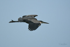 Great Blue Heron (Dave Skinner Photography) Tags: staten island road fog foggy birds cranes pintail birders