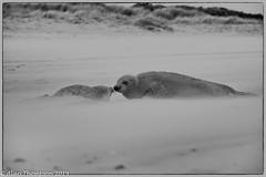 Frozen (Mister-Tee) Tags: winterton wintertononsea norfolk seal greyseal juvenilegreyseal marine sea coast nikon nikond750 newborn