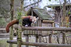 Zoo Time-76 (jd.keenan) Tags: park animal forest fur tail bamboo china bear cat asian mammal zoo asia panda chinese adorable lovely ailurus fulgens red wild white tree cute nature leaf natural wildlife tropical redpanda